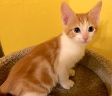 [picture of Little Oliver, a Domestic Short Hair orange/white cat]