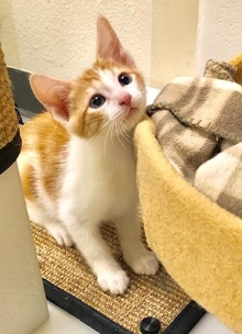 [picture of Little Oliver, a Domestic Short Hair orange/white\ cat]