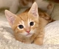 A picture of #ET02865: Ollie a Domestic Short Hair orange