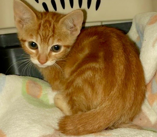 [picture of Strawberry Studel, a Domestic Short Hair orange\ cat]