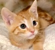 A picture of #ET02867: Orange Studel a Domestic Short Hair orange