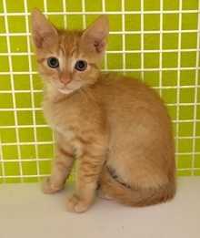 [another picture of Orange Studel, a Domestic Short Hair orange\ cat]