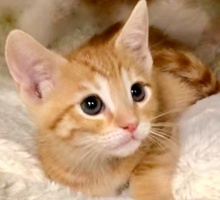 [picture of Orange Studel, a Domestic Short Hair orange\ cat]