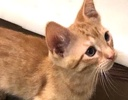 A picture of #ET02868: Apple Strudel/aka Winky a Domestic Short Hair orange