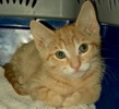 A picture of #ET02869: Tangerine Strudel a Domestic Short Hair orange