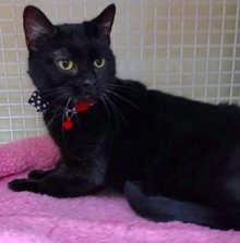 [another picture of Viola, a Bombay Mix black\ cat]