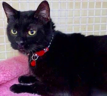 [picture of Viola, a Bombay Mix black\ cat]