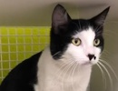 A picture of #ET02872: Boss a Domestic Short Hair white/black