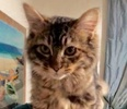 A picture of #ET02873: Meimei a Ragdoll Mix brown tabby