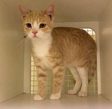 [another picture of Drake, a Domestic Short Hair orange/white\ cat]