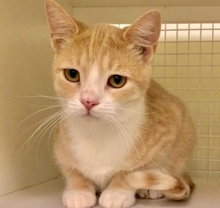 [picture of Drake, a Domestic Short Hair orange/white\ cat]