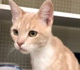 A picture of #ET02880: Drex a Domestic Short Hair orange/white