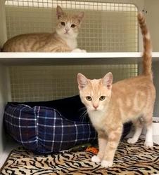 [picture of Drex, a Domestic Short Hair orange/white cat]