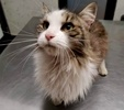 A picture of #ET02881: Guina a Domestic Long Hair brown tabby/white