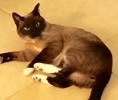 [picture of Talea, a Siamese seal point cat]