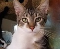 A picture of #ET02883: Bboy a Domestic Short Hair white/brown tabby