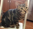 A picture of #ET02884: Jameson a Domestic Short Hair marble gray tabby