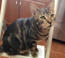 [picture of Jameson, a Domestic Short Hair marble gray tabby\ cat]