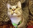 A picture of #ET02885: Roro a Domestic Short Hair brown tabby/white