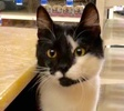 A picture of #ET02886: Tuxo a Domestic Short Hair black/white