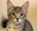 A picture of #ET02889: Daisy a Domestic Short Hair silver