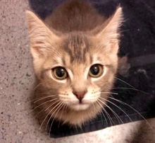 [picture of Matilda, a Domestic Short Hair silver\ cat]