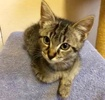 A picture of #ET02891: Mayzie a Domestic Short Hair brown tabby