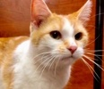 A picture of #ET02893: Nona a Domestic Short Hair orange/white