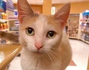 A picture of #ET02894: Dracilla a Turkish Van Mix calico