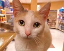 [picture of Dracilla, a Turkish Van Mix calico\ cat]