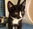 A picture of #ET02896: Porkchop a Domestic Short Hair black/white