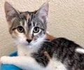 A picture of #ET02897: Pebbles a Domestic Short Hair calico