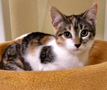 [another picture of Pebbles, a Domestic Short Hair calico\ cat]