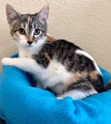 [picture of Pebbles, a Domestic Short Hair calico cat]