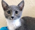 A picture of #ET02898: Roguette a Russian Blue Mix blue/white