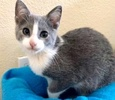 A picture of #ET02899: Church a Russian Blue Mix blue/white