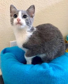 [another picture of Church, a Russian Blue Mix blue/white\ cat]