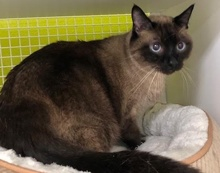 [another picture of Angel, a Siamese seal point\ cat]