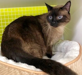 [picture of Angel, a Siamese seal point cat]