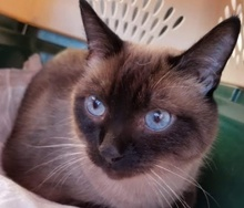 [picture of Angel, a Siamese seal point\ cat]