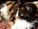 A picture of #ET02902: Elle a Domestic Long Hair calico