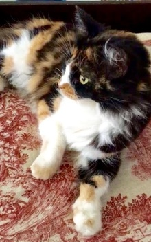 [picture of Elle, a Domestic Long Hair calico cat]