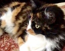 [picture of Elle, a Domestic Long Hair calico\ cat]