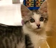 A picture of #ET02903: Snap a Domestic Short Hair white/silver tabby