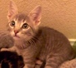 A picture of #ET02905: Krackle a Domestic Short Hair silver