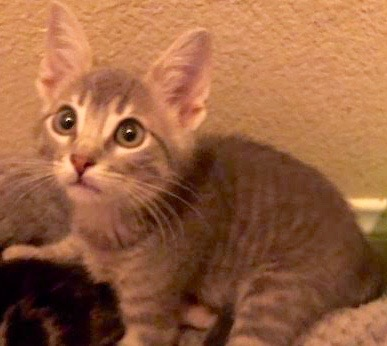 [picture of Krackle, a Domestic Short Hair silver\ cat]