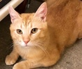 A picture of #ET02909: Garfeild a Domestic Short Hair orange