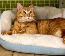 [picture of Garfeild, a Domestic Short Hair orange cat]