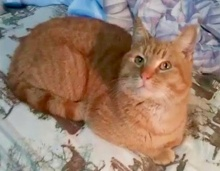 [picture of Garfeild, a Domestic Short Hair orange\ cat]