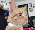 A picture of #ET02911: Dov a Domestic Short Hair orange tabby